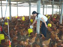 ĐV-TN xã Nhuận Trạch đầu tư nuôi gà thịt cho thu nhập cao