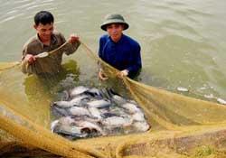 Nuôi cá rô phi đem lại hiệu quả kinh tế cao. (Ảnh T.Hưng)