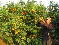 Giống cam canh được hội viên nông dân trị trấn Cao Phong đưa vào trồng cho giá trị kinh tế cao gấp 3 , 4 lần giống cam địa phương.