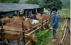 Anh Hòa với đàn bò 30 chục con taị trang trại