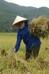 Bà con nhân dân xã Kim Tiên(Kim Bôi) tích cực gặt lúa vụ chiêm xuân.