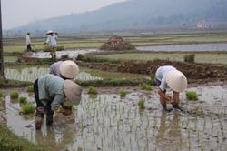 Bà con nông dân xã Lạc Thịnh (Yên Thuỷ) tập chung cấy lúa vụ Hè - Thu.