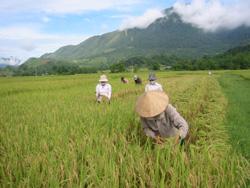 Nông dân xã Nhuận Trạch thu hoạch lúa xuân.