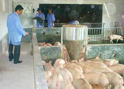 Áp dụng KHKT vào chăn nuôi lợn đem lại hiệu quả kinh tế.