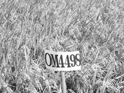 Giống lúa mới được nhân giống tại Viện Lúa đồng bằng sông Cửu Long