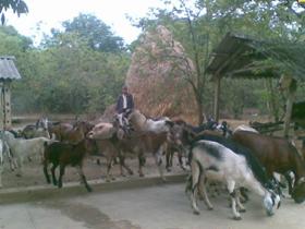 Đến nay, gia đình anh Quách Văn Vinh đã phát triển được đàn dê lên 50 con.