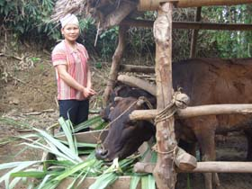 Người chăn nuôi cần nhốt gia súc trong chuồng và chuẩn bị thức ăn đảm bao dinh dưỡng trong những ngày nhiệt độ xuống thấp.
