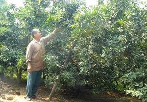Lão nông Bùi Văn Tiến bên vườn cam của mình.