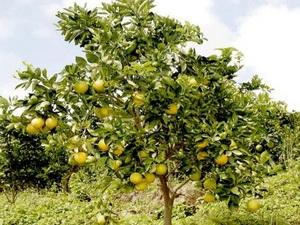 Cây cam Cra cara 5 năm tuổi sai trĩu quả.