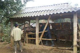 Cán bộ trạm thú y tiêm vắc xin LMLM cho đàn gia súc tại xã Bắc Phong (Cao Phong).