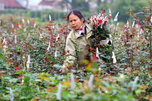 Người dân xã Trung Minh (TP Hòa Bình) trồng hoa phục vụ Tết Nguyên đán