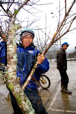 Người dân Mộc Châu đang tranh thủ bán đào.