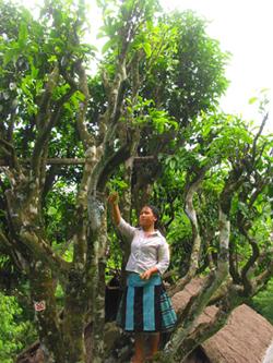 Những cây chè shan tuyết cổ thụ tại xã Pà Cò (Mai Châu).