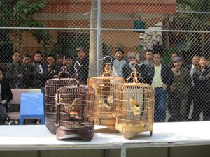 Chọi chim - một hoạt động luôn thu hút đông đảo các thành viên CLB  và những người ưa thích chim cảnh tham gia.