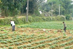 Nông dân xã Trung Bì (Kim Bôi) chăm sóc cây màu vụ đông.
