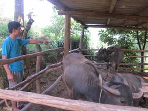 Hộ chăn nuôi xóm Chầm, xã Yên Lập quản lý tốt đàn gia súc vào vụ đông.