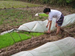 Nông dân xã Thống Nhất (thành phố Hòa Bình) che phủ nilon cho mạ chiêm- xuân  đảm bảo đúng thời gian, đúng quy trình kỹ thuật.