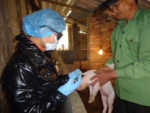 Tỷ lệ tiêm phòng bệnh tả trên đàn lợn địa bàn huyện Mai Châu luôn đạt trên 90%.