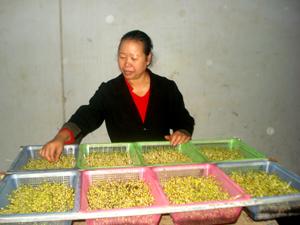 Chị Nguyễn Thị Bích, tổ 5B, phường Phương Lâm (TPHB) giới thiệu mô hình trồng rau mầm phục vụ cho việc kinh doanh của gia đình.