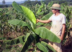 Nông dân  xã Văn Nghĩa (Lạc Sơn) theo dõi các  triệu chứng của bệnh héo rũ Panama gây hại trên cây chuối, từ đó triển khai hiệu quả các biện pháp phòng trừ. Ảnh: P.V