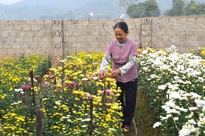 Bà Trần Thị Cà chăm sóc vườn hoa cúc cung cấp cho thị trường dịp Tết Nguyên đán.