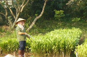 Trung tâm Giống cây trồng tỉnh chủ động giống keo phục vụ cho trồng rừng vụ xuân 2014.