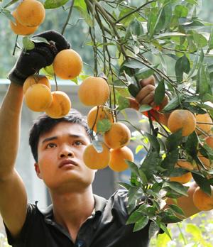 Người trồng cam ở Cao Phong cần mẫn chăm sóc, nâng niu những cành cam trĩu quả.