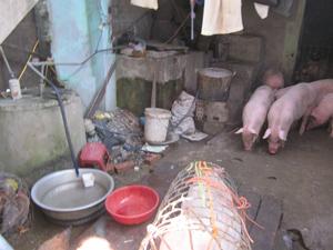 Thực hiện giết mổ lợn tại nơi không đảm bảo vệ sinh gây nguy cơ lây nhiễm chéo và mất vệ sinh ATTP. ảnh: Khu vực giết mổ gia súc của một cơ sở giết mổ nhỏ lẻ ở thị trấn Cao Phong (Cao Phong).