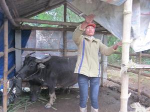 Hộ chăn nuôi xã Nam Thượng (Kim Bôi) che chắn chuồng trại tránh rét cho gia súc.