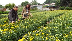Vườn hoa cúc của gia đình ông Trần Văn Bổng, xóm Tân Lập 2 vào kỳ thu hoạch rộ.