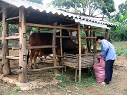 Mô hình chăn nuôi trâu bò vỗ béo tại xã Thanh Hối.