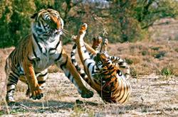 Phần lớn hổ có bộ lông màu cam với những sọc đen. Lông ở bụng và má của chúng có màu trắng