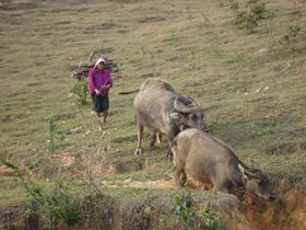 Xã Yên Thượng ổn định đàn trâu sau dịch lở mồm long móng
