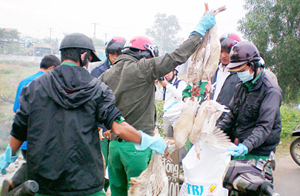 Cán bộ liên ngành huyện Bình Chánh TPHCM bắt giữ gia cầm trái phép (ảnh chụp trưa 4-2).