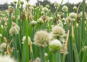 Hành hoa không những làm món ăn thêm hấp dẫn mà còn có tác dụng giải cảm, tốt cho tiêu hóa.