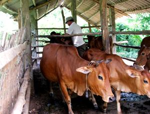 Nhân dân xã Nam Phong (Cao Phong) đầu tư xây dựng chuồng trại và nhốt nuôi trâu, bò để phòng chống dịch bệnh.