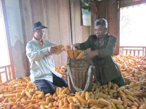 Nông dân xóm Khan Hạ được mùa ngô.