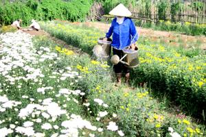Nhân dân làng hoa Tân Lập chăm sóc vườn hoa phục vụ nhu cầu của người dân  trong dịp Tết.
