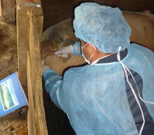 Đàn lợn ốm xã Cư Yên (Lương Sơn) đang được theo dõi, điều trị tích cực.
