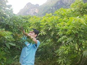 Anh Bùi Văn Hà chăm sóc vườn nhãn của gia đình.