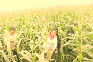 Xã Hợp Thịnh (Kỳ Sơn) tận dụng diện tích đất đồng, bãi phát triển cây ngô vụ đông cho giá trị kinh tế cao.