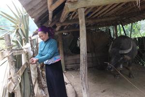 Hộ dân xóm Bâng, xã Đồng Bảng (Mai Châu) tận dụng vật liệu sẵn có che chắn chuồng trại phòng, chống rét cho vật nuôi.