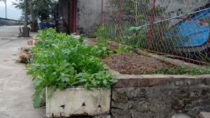 Nhiều hộ gia đình ở phường Đồng Tiến, Tân Thịnh (thành phố Hòa Bình) tận dụng gốc cây, đất hành lang, bãi sông trồng rau sạch.