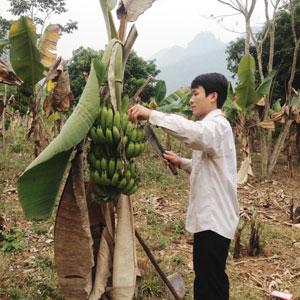 Anh Vì Văn Việt chăm sóc vườn chuối tiêu hồng.