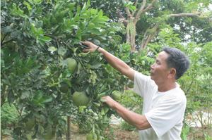 Ông Bùi Văn Út - người từng tham gia kháng chiến và bị nhiễm chất độc hoá học,  xóm Bào 2, xã Thanh Hối (Tân Lạc) đầu tư trồng 60 cây bưởi đỏ, bưởi da xanh phát triển kinh tế gia đình.