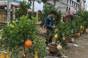 Loại cây Tứ Quý được bán nhiều ở khu vực Trung tâm thương mại bờ trái sông Đà
