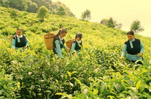 Người dân xã Pà Cò (Mai Châu) tiếp cận và nắm bắt kỹ thuật sản xuất chè sạch đem lại hiệu quả kinh tế cao. ảnh: Bà con dân tộc Mông, xóm Trà Đáy thu hoạch chè xuân.