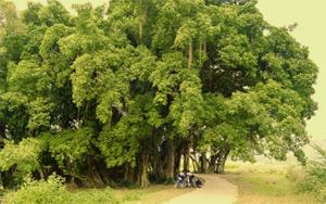 Tán cây sanh toả rộng phủ kín một vùng. Cây có tổng chu vi gốc lớn nhất Việt Nam tới nay.