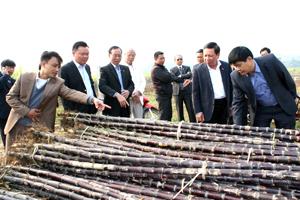 Đồng chí Bùi Văn Tỉnh, Ủy viên BCH T.Ư Đảng, Bí Thư Tỉnh ủy kiểm tra tình hình sản xuất và tiêu thụ mía tím tại Cao Phong.