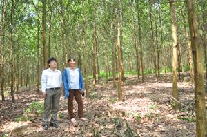 Rừng keo diện tích 3 ha của gia đình chị Nguyễn Thị Ngọc Tuyết, xóm Báy, xã Sào Báy (Kim Bôi) hứa hẹn cho thu nhập  khoảng 200 triệu đồng.